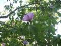 Jetzt doch noch einen sommerlich blühenden Strauch entdeckt.