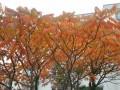 Noch ein schöner Herbstbaum.