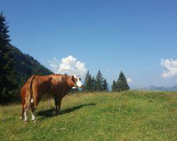 Kühe ganz nah. So stellt man sich das Allgäu vor.