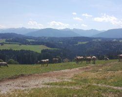 Ein toller Blick auf die Kühe und die Landschaft.