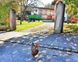 Freilaufende Hühner in Grafenaschau.