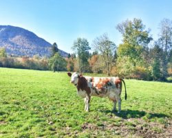 Nicht die einzige Kuh, die uns begegnete.
